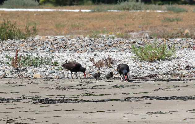 UPDATED for 2016: Black Oystercatchers nest on restored shoreline