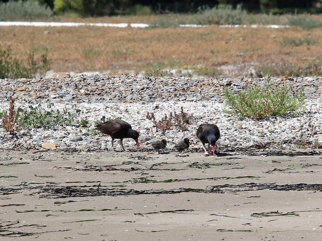 Black Oystercatchers nest on restored shoreline