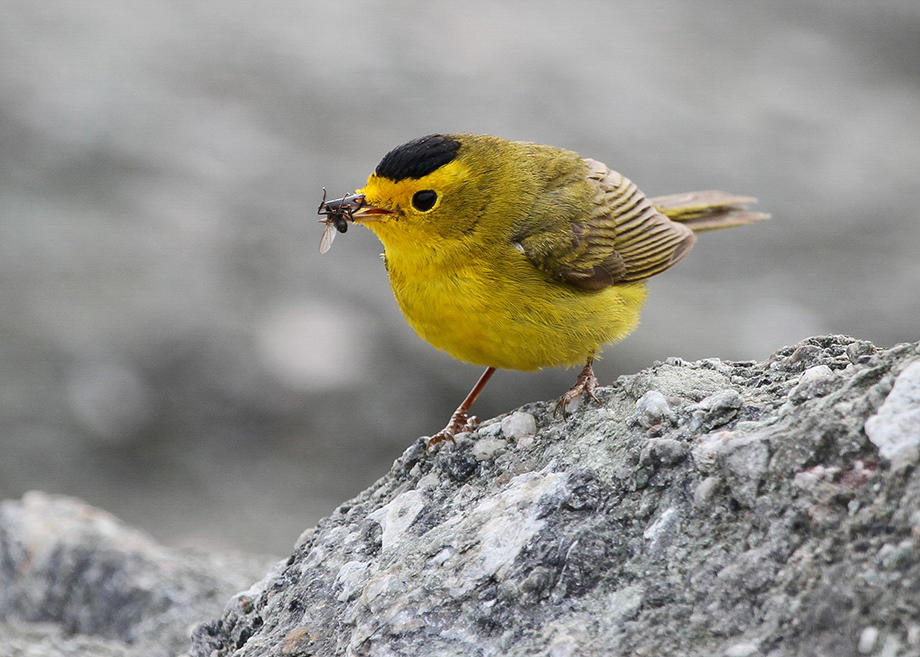 Wilson's Warbler eats an insect.