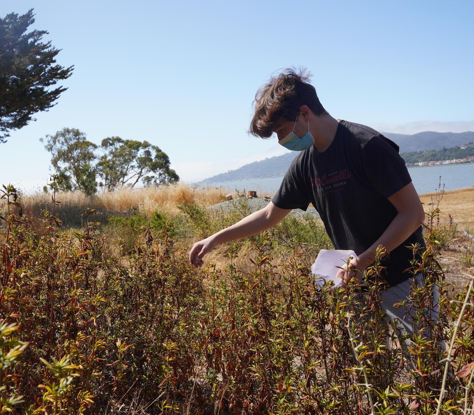 Teen Naturalist Ari Gold Collects Orange Sticky Monkey Flower Seeds