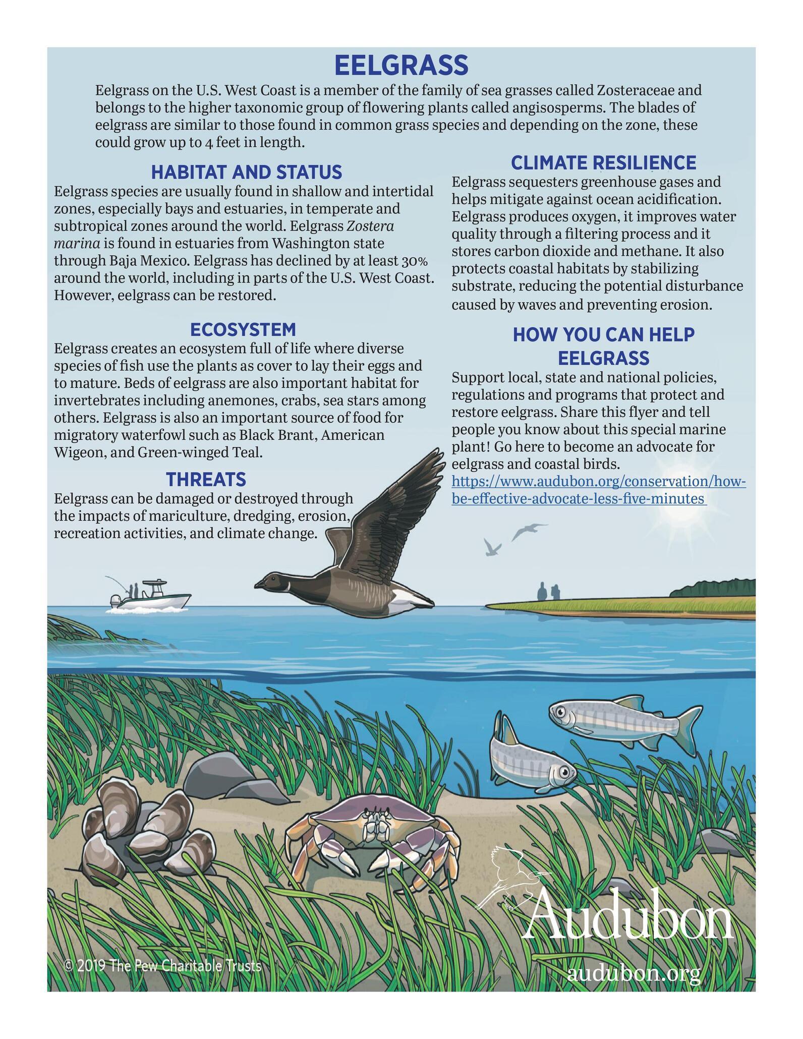 Eelgrass Info English