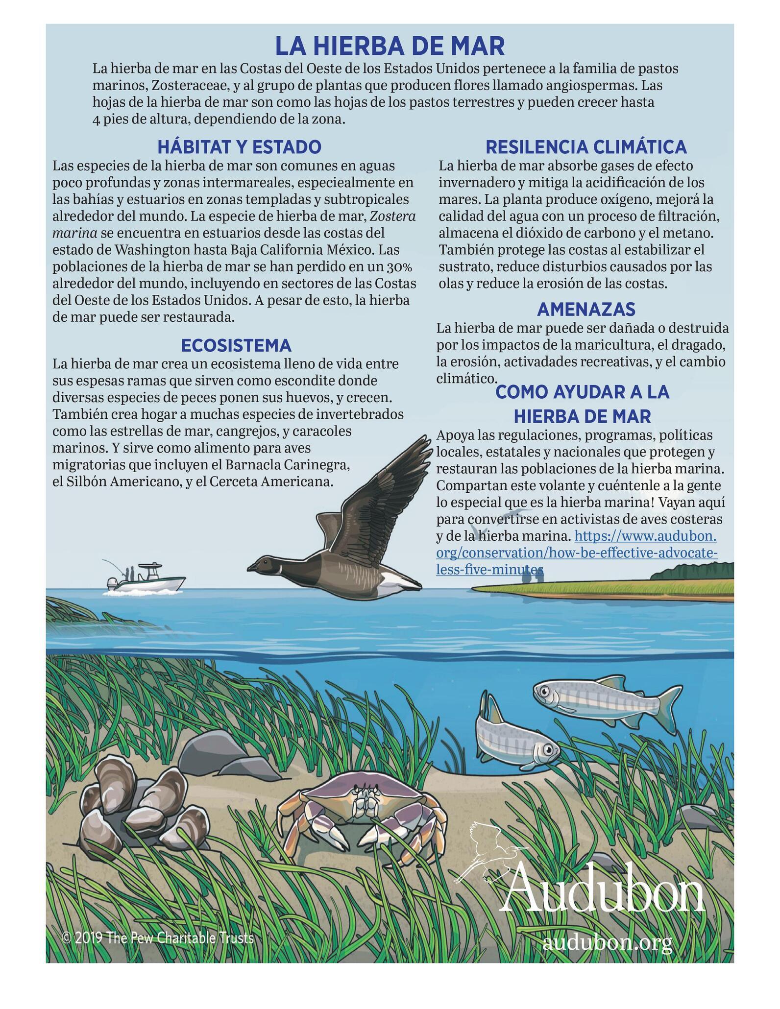 Eelgrass Info Spanish