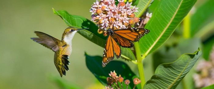 humming bird and monarch
