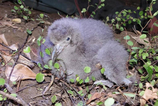 Flesh-footed Shearwater Chick