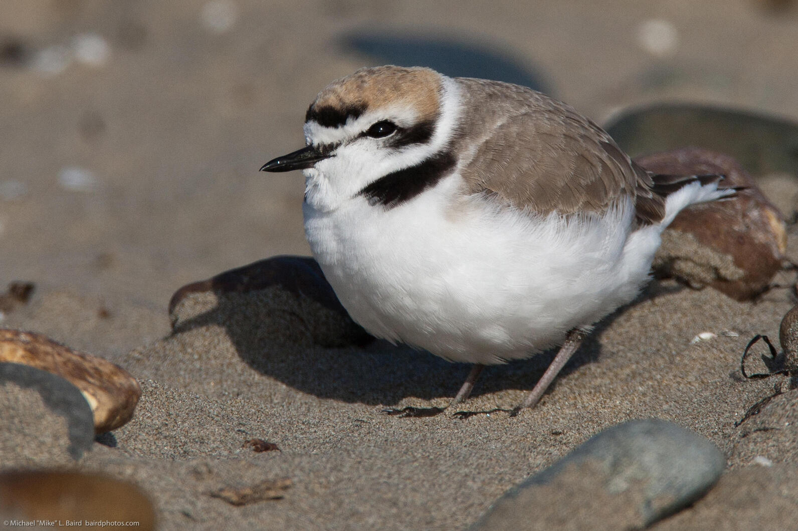 Western Snowy Plover Photo: Mike Baird