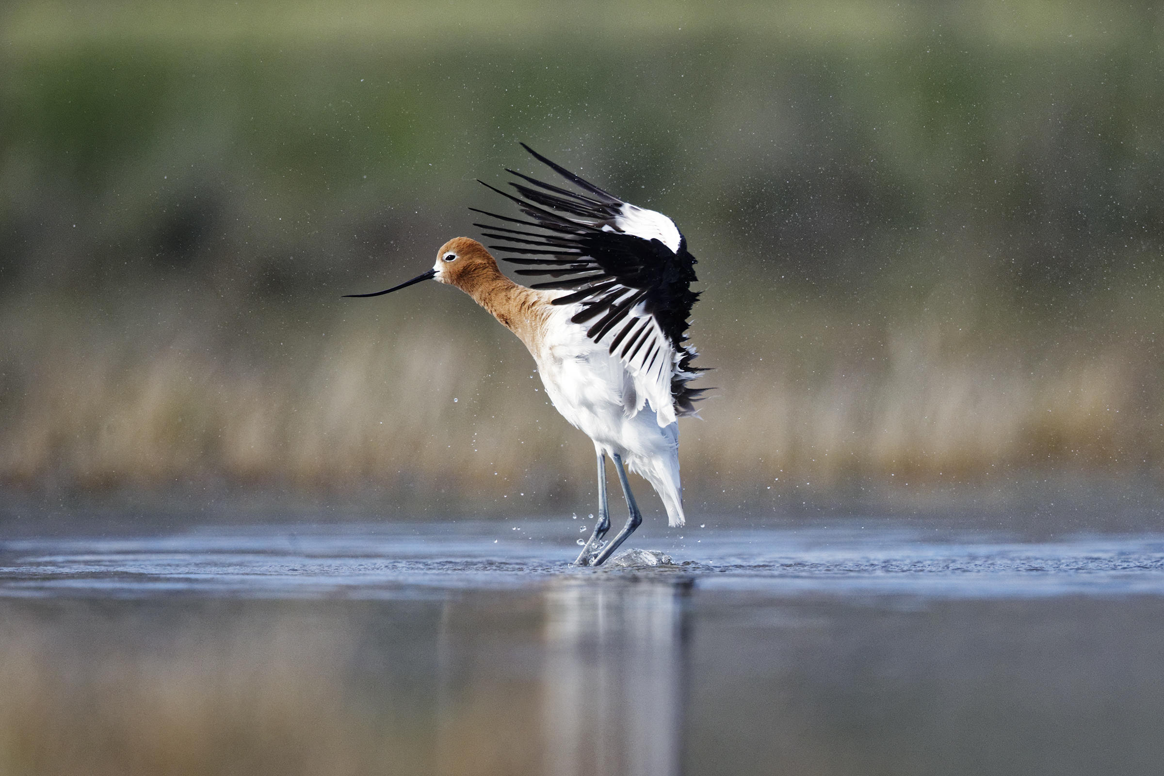 American Avocet spreads its winds standing in water.